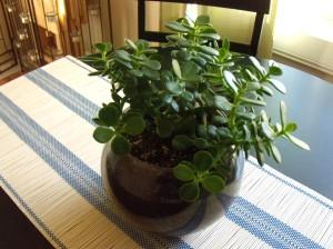 Jade plant from Nate & De's wedding